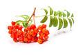 Rowan berries isolated - PhotoDune Item for Sale