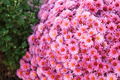 Pink chrysanthemum - PhotoDune Item for Sale