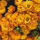 Orange chrysanthemum - PhotoDune Item for Sale