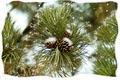 Pine cones - PhotoDune Item for Sale