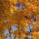 Fall Tree With Yellow Leaves - VideoHive Item for Sale