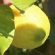 Lemon Tree - VideoHive Item for Sale