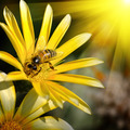 bee on a beautiful flower in the sun - PhotoDune Item for Sale