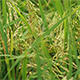 Paddy Field 3 - VideoHive Item for Sale