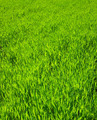 Texture green lawn - PhotoDune Item for Sale
