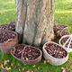 Chestnut baskets around a chestnut tree in autumn - PhotoDune Item for Sale