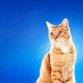 Ginger Cat - PhotoDune Item for Sale