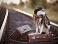The dog sits on a suitcase on rails - PhotoDune Item for Sale
