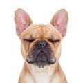 fawn french bulldog - PhotoDune Item for Sale