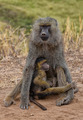 Baboon with young - PhotoDune Item for Sale