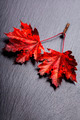 autumn maple leaves - PhotoDune Item for Sale