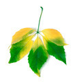 Multicolor virginia creeper leaves - PhotoDune Item for Sale