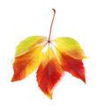 Multicolor autumn virginia creeper leaves - PhotoDune Item for Sale