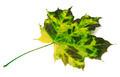 Multicolor maple leaf - PhotoDune Item for Sale