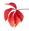 Red autumn virginia creeper leaves - PhotoDune Item for Sale