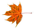 Multicolor autumn maple-leaf - PhotoDune Item for Sale