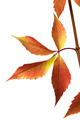 Autumn grapes leaves (Parthenocissus quinquefolia foliage) - PhotoDune Item for Sale