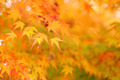 Maple in Autumn Season - PhotoDune Item for Sale