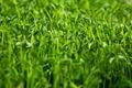 Organic Sweet Peas - PhotoDune Item for Sale