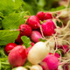 Organic Radishes - PhotoDune Item for Sale