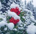 Winter berry - PhotoDune Item for Sale