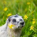 Marmoth - PhotoDune Item for Sale