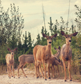 Elk - PhotoDune Item for Sale