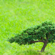 green lonely bonsai tree - PhotoDune Item for Sale
