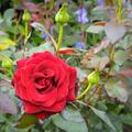 rose flower on garden background - PhotoDune Item for Sale