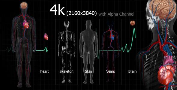 高清视频素材 4K分辨率人体解剖学大脑身体X光医疗宣传广告视频素材含透明通道Medical Human免费下载