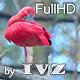 Scarlet Ibis - VideoHive Item for Sale