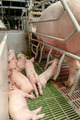 Baby pig in a pigsty - PhotoDune Item for Sale
