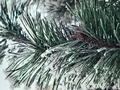 snowy pine branch close up - PhotoDune Item for Sale