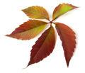 Autumn grapes leaf - PhotoDune Item for Sale