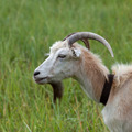 Green meadow and portrait of goat - PhotoDune Item for Sale