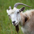 Portrait of goat - PhotoDune Item for Sale