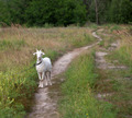 Goat on meadow - PhotoDune Item for Sale