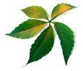 Multicolor grapes leaf - PhotoDune Item for Sale