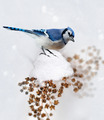 Blue Jay In Winter - PhotoDune Item for Sale