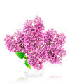 Blossoming lilac - PhotoDune Item for Sale
