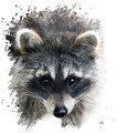 Raccoon Portrait - PhotoDune Item for Sale