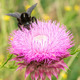 Bumblebee on Thistle Flower 3 - PhotoDune Item for Sale