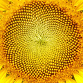 Closeup of Sunflower - PhotoDune Item for Sale