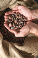 Hand holds cocoa beans - PhotoDune Item for Sale