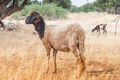 Morrocan sheep in the field - PhotoDune Item for Sale