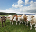 A group of cattle grazing on rich pasture in Scotland  - PhotoDune Item for Sale