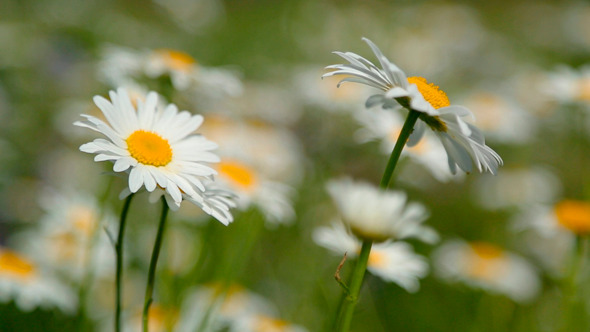 Daisies On A Meadow