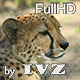 Cheetah - VideoHive Item for Sale