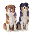 australian shepherds - PhotoDune Item for Sale