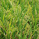 Paddy Field 5 - VideoHive Item for Sale